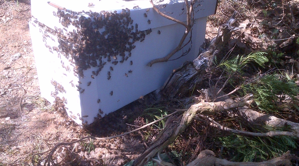 Shinnyo-en LA Bees in the Irrigation Box (by the Saito Homa field)