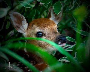 fawn_hiding