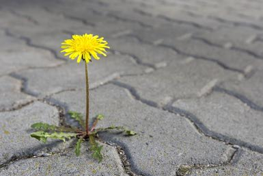 A dandelion grows through a brick path - Bernhard Kreutzer/Getty Image